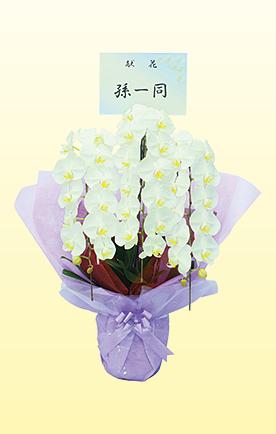 胡蝶蘭鉢 (3本立)の写真